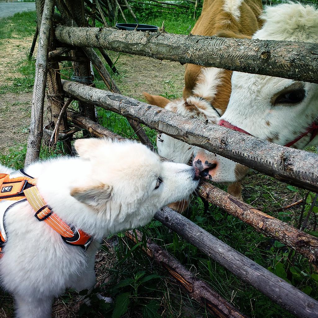 Kuva: Mika Kareinen. Koira haistelee lehmiä aidan toiselta puolelta.
